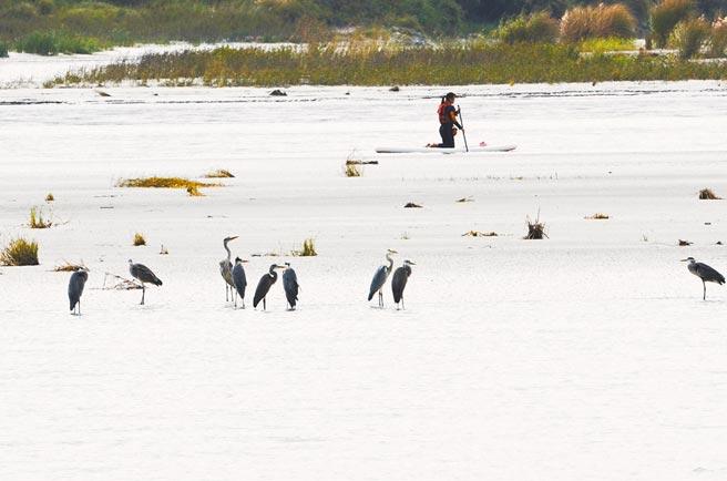 候鳥過境停留在花蓮溪出海口,有民眾闖入溼地划獨木舟,驚動候鳥。(民眾提供/王志偉花蓮傳真)
