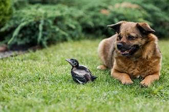 爱犬把被弃养雏鸟当小狗照顾 没怀孕却离奇胀奶