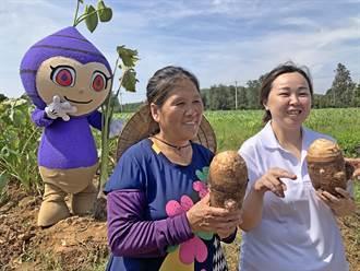 小金門香芋頭前進台北 今起2天希望廣場開賣