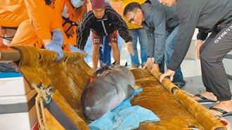 與媽媽失散 鯨豚負傷擱淺幸獲救