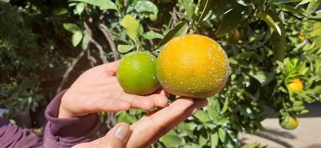 今年受乾旱影響致柑橘類嚴重受損,桶柑成長停滯,果實周徑較去年小很多。(陳淑娥攝)