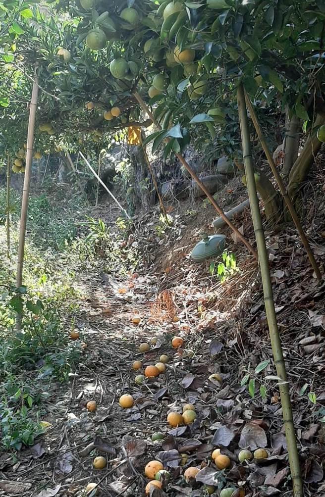 今年受乾旱影響致柑橘類嚴重受損,桶柑不僅成長停滯,也有出現落果情形。(陳淑娥攝)
