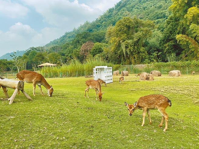 逐鹿鹿園內的梅花鹿今年又多了幾隻小鹿。(張亦惠攝)