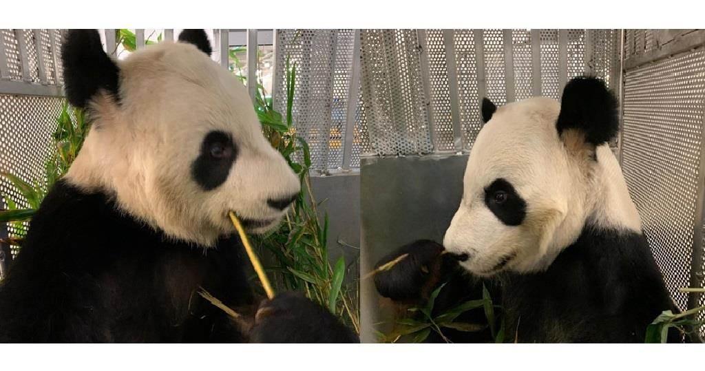 大熊貓「大毛」(右)和「二順」(左)。(卡爾加里動物園facebook圖片)