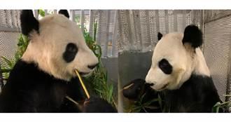 疫下缺竹 加拿大兩隻大熊貓提前送回大陸