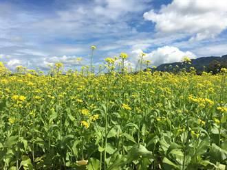 40公噸黃澄油菜種子免費送 增加地力美化景觀