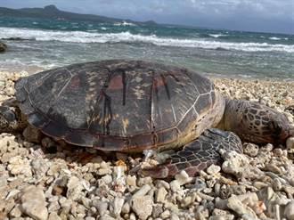 後壁湖一次發現3隻死亡海龜 今年已死26隻