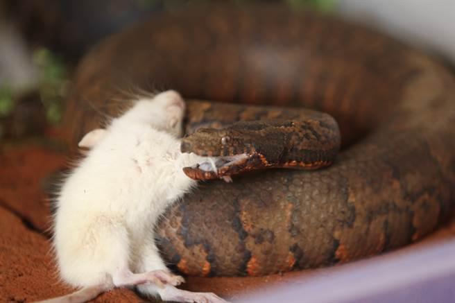 鼠媽見寶寶有危險,立刻對蛇發起攻擊,成功救回自己的孩子(示意圖/達志影像)