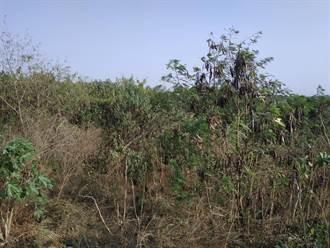 北港溪河床银合欢入侵 河川局配合绿美化遏止蔓延