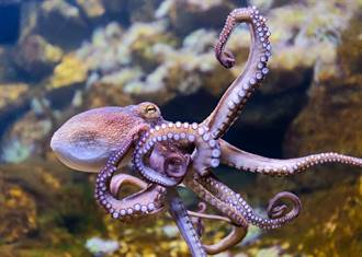 章魚八爪緊纏海鷗硬拖水中 善心男出手救援引爭議