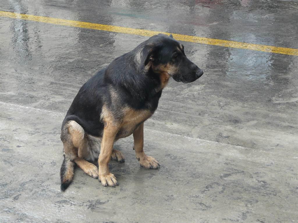 駕駛行駛在山路,期間遇到一隻坐在雨中的狗,擋在路中間不肯離開,儘管駕駛不斷按喇叭驅趕,狗仍堅持待在原地。(示意圖/達志影像)