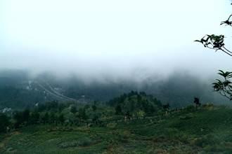 久安鄉發展特色茶產業 鋪就轉型發展新道路