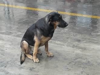 狗雨中擋道被按喇叭也不走 駕駛事後見路況哭了