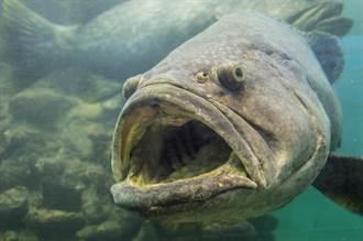 魚皮貓骨 石斑衝向潛水員討摸 軟Q模樣融化600萬人