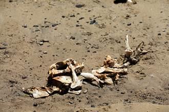 海邊撿「美人魚骨骸」全村人嗨翻 專家吐真相打臉