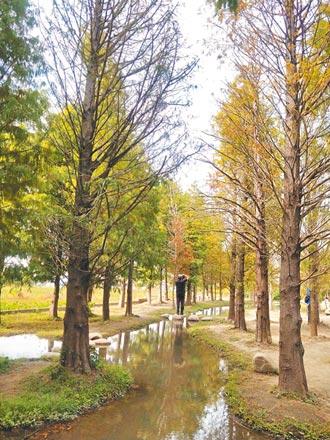 后里季節限定 落羽松美景到明年3月