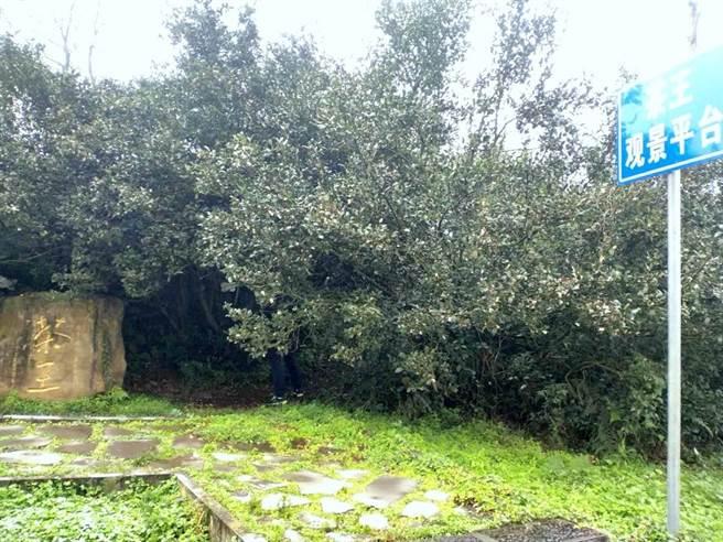 茶王 枝幹粗壯的古茶樹盤踞在岩石上,巨大的樹冠足足遮蔽了近70平方米的空間。(圖/蹇金津提供)