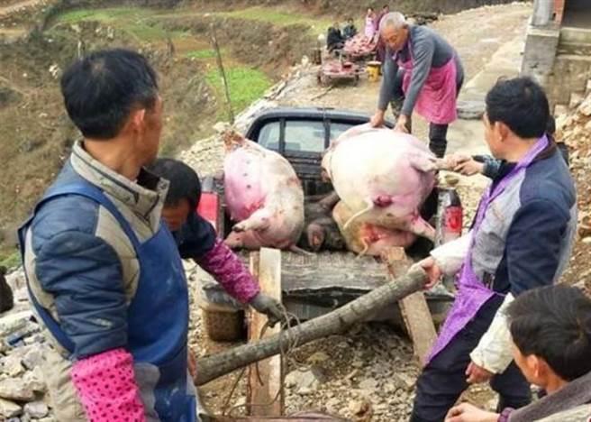 村民將死豬運走。(圖/東網)