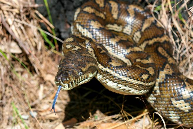 肥蟒蛇被車撞死,照了X光才發現,牠的腹部竟還有12顆蛇蛋,獸醫師趕緊進行搶救。(示意圖/達志影像)