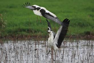 金山濕地飛來3隻罕見東方白鸛 吸引愛鳥人搶拍