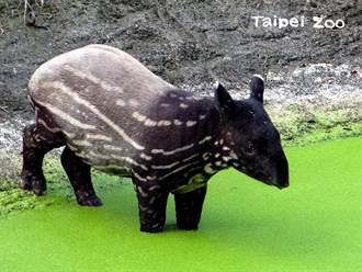 馬來貘寶寶「貘豆」長大啦!脫下花外套改換「黑白泳裝」