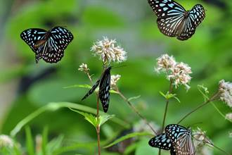 雄斑蝶最愛的性費洛蒙 高士佛澤蘭綻放