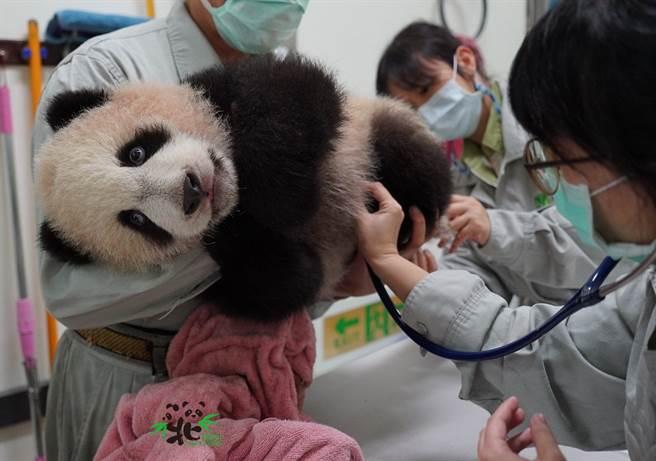 醫師在幫大貓熊寶寶「圓寶」進行聽診。(圖/臺北市立動物園提供)