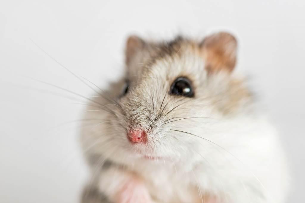 日本網友養了一隻身懷絕技的「功夫倉鼠」。(示意圖/達志影像)