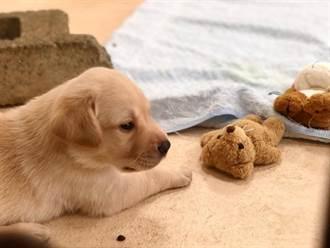 海關緝毒幼犬徵求寄養家庭 申請條件曝:第1波開放台中地區