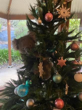 歲末驚喜!無尾熊闖進民宅 卡在耶誕樹上下不來