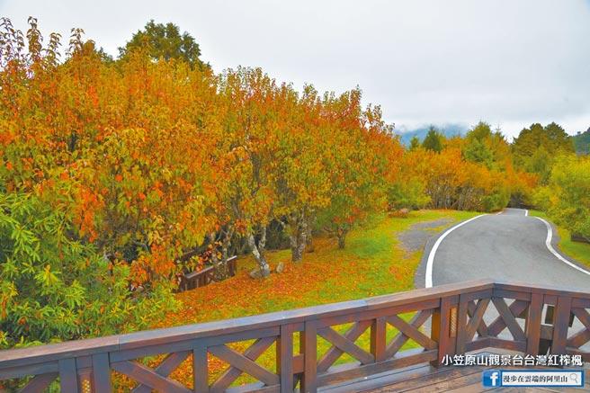阿里山國家森林遊樂區內的小笠原山台灣紅榨楓本周開始陸續變色,目前轉紅狀況約1至3成。(黃源明提供/張亦惠嘉縣傳真)