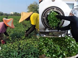 台灣茶產量最大在南投 直擊松柏嶺農民採收日常
