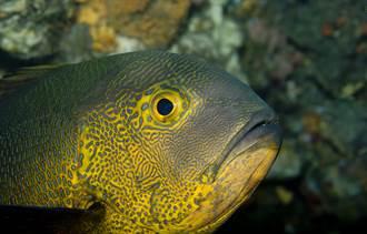二戰前就出生了 世界最老珊瑚礁巨魚現蹤 科學家驚呼