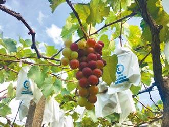 乾旱蟲害 卓蘭葡萄偏小賣相差