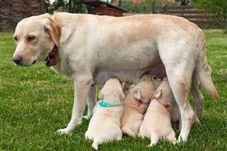 生8幼犬狗媽媽只獨餵1隻 主人偷靠近見真相淚崩
