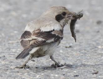 台南》台灣新紀錄種,灰伯勞現蹤八掌溪