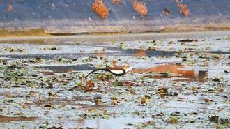 農地缺水停灌 恐衝擊水田生態