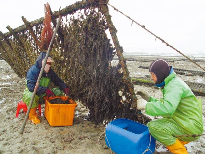 今年澎湖紫菜品質好產量多,養殖漁民發小財,笑呵呵。(陳可文攝)
