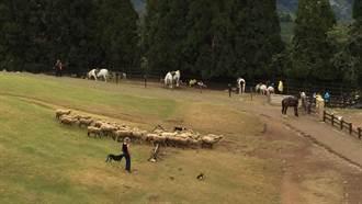5000人連署終止綿羊秀 綠委嗆:若清境虐待動物肯定砍預算