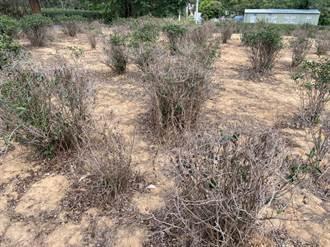 苗栗嚴重乾旱 頭份茶樹枯死近3成冬茶比賽少一半