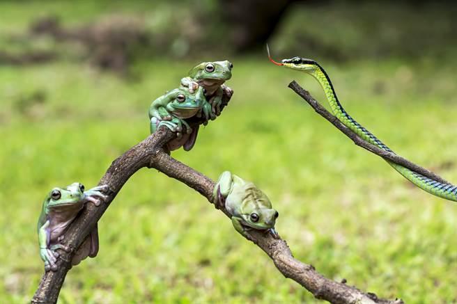 澳洲女網友撞見樹蛙正在吞食蛇的驚人畫面。(示意圖/達志影像)