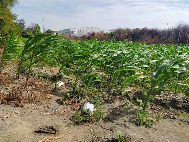 一位張姓農夫上網PO文表示,心愛的玉米田遭無良民眾「放屎」。(臉書社團《爆怨2公社》/蘇育宣翻攝)