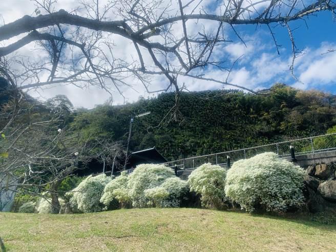 信義鄉柳家梅園的白雪木,已經全面綻放。(廖志晃攝)