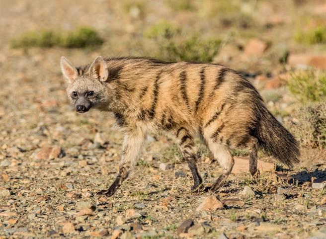 《國家地理雜誌》日前在YouTube頻道介紹愛吃昆蟲的鬣狗界怪咖,「土狼」。(示意圖/達志影像)