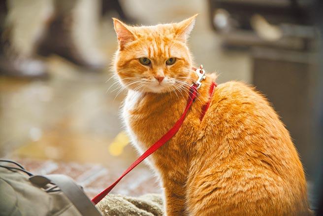 橘貓Bob今年6月因意外離世。(采昌國際多媒體提供)