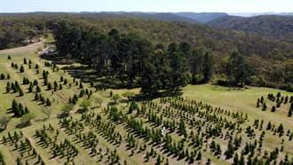 竭力抗疫後想來點歡樂氣氛 澳洲耶誕樹超熱賣