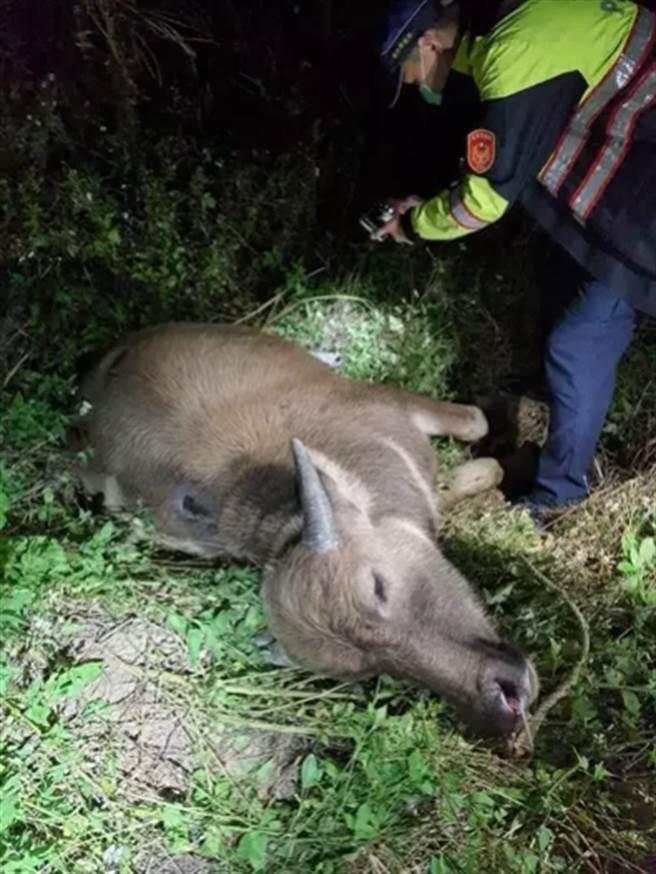 台鐵區間車撞到一頭牛。(台鐵提供)