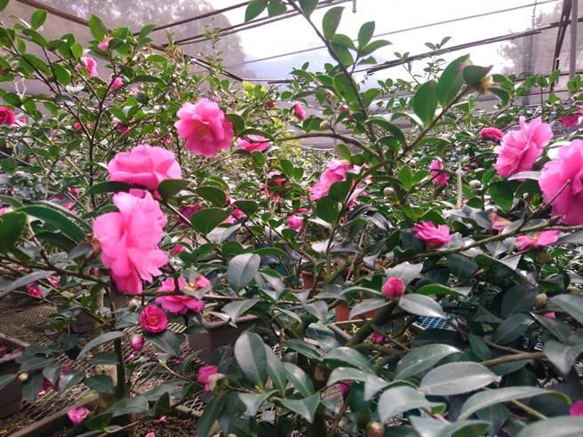 2020新竹市茶花季產業文化活動「花漾茶花」,將於12日起至明年2月28日於茶花產銷班登場。(陳育賢攝)