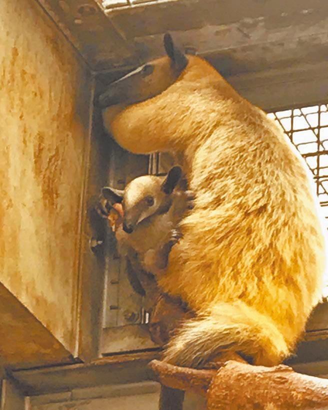 小紅和女兒紅豆9月1日翻越柵欄脫逃。(動物園提供)