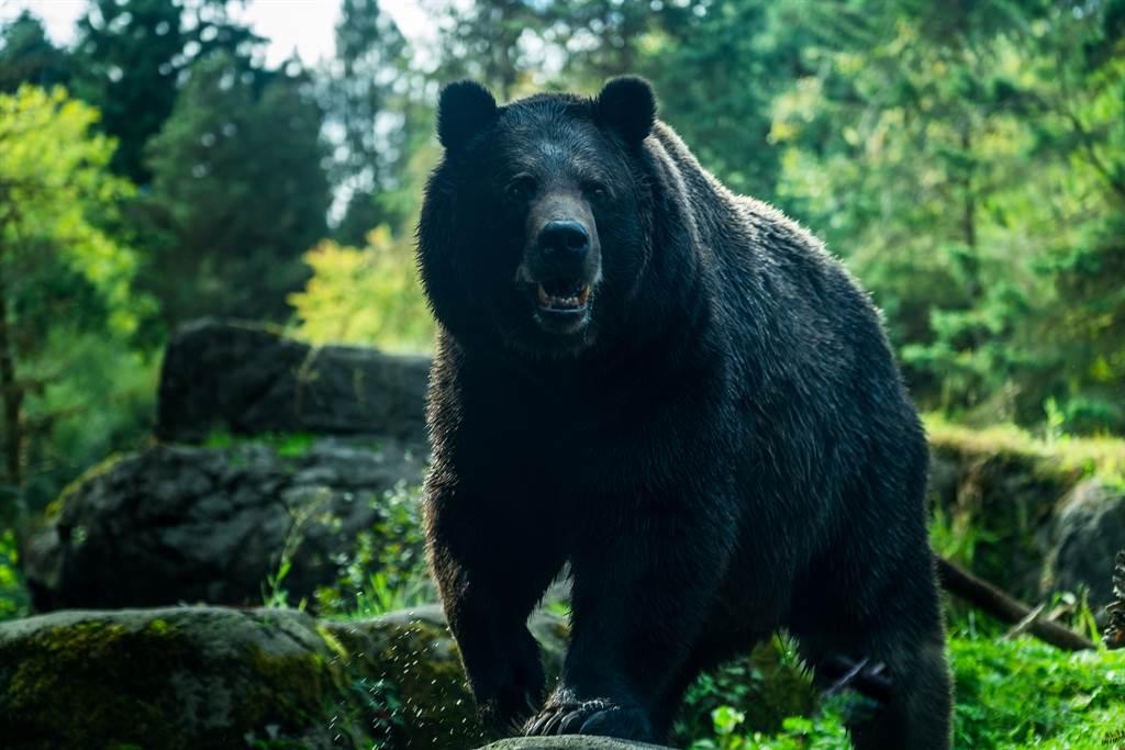 看到愛犬遭158公斤的黑熊攻擊,飼主竟冒著生命危險徒手打退黑熊。(示意圖/達志影像)